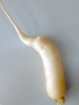 'White Radish' harvested in 'Basalt Stone Dust